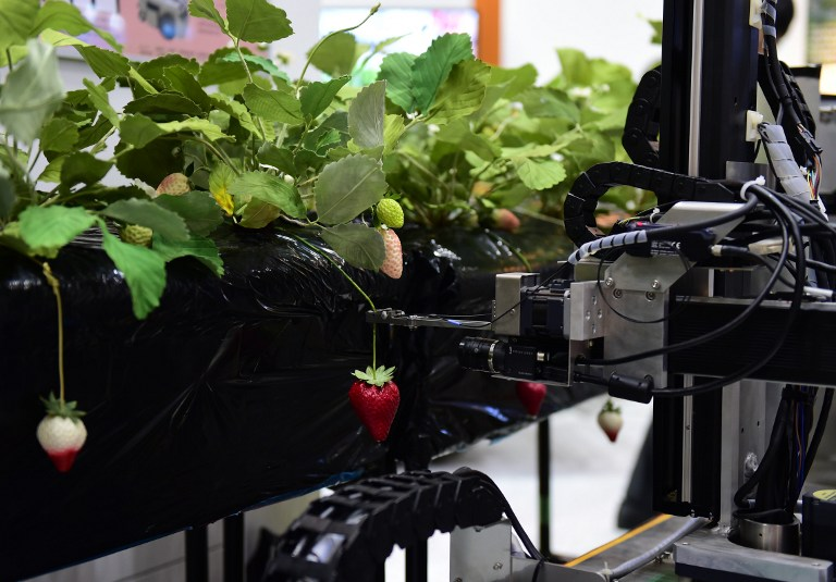 Japan's Utsunomiya University demonstrates a robot that picks ripe strawberries during a demonstration at the annual International Robot Exhibition in Tokyo on December 2, 2015. Some 450 companies and organisations displayed their latest robots and 5,000 people were expecting to visit a four-day event. AFP PHOTO / Yoshikazu TSUNO / AFP / YOSHIKAZU TSUNO